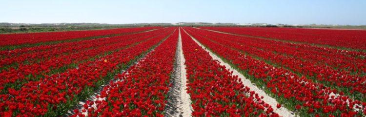 Découvre les champs de tulipes au Printemps à Plomeur